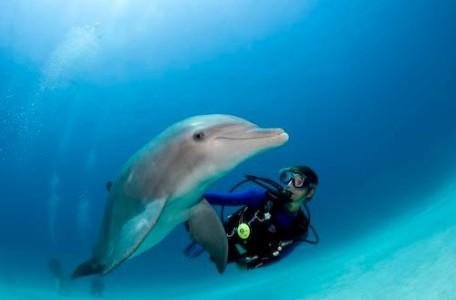Atlantic bottlenose dolphin, Tursiops truncatus